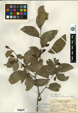 Image of Cynometra oaxacana