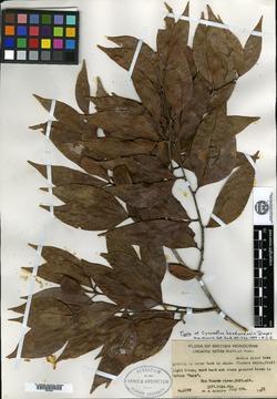 Image of Cynometra hondurensis
