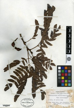 Image of Cojoba escuintlensis