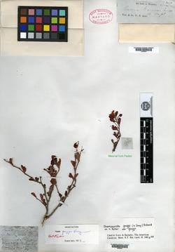 Image of Cassia greggii