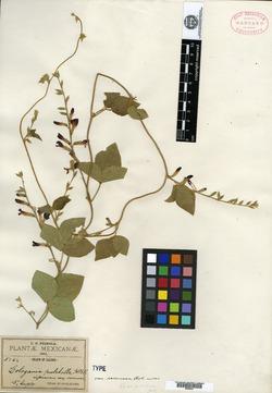 Cologania racemosa image