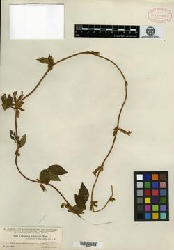 Image of Cologania rufescens