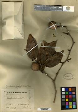 Image of Cynometra hemitomophylla