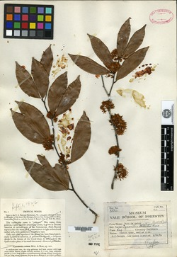 Image of Cynometra retusa