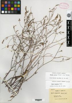 Image of Dalea angulata