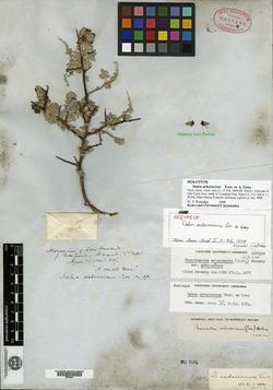 Image of Dalea arborescens