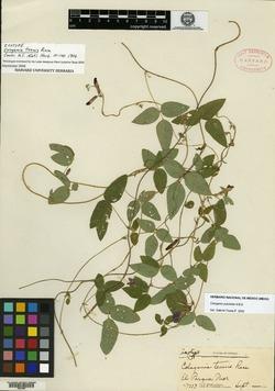 Cologania tenuis image