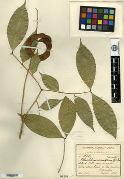 Abarema racemiflora image