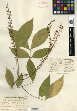 Image of Abarema racemiflora