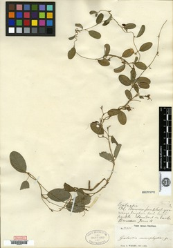 Galactia monophylla image