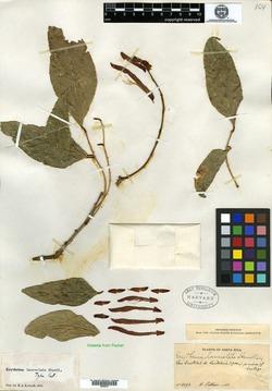 Erythrina lanceolata image