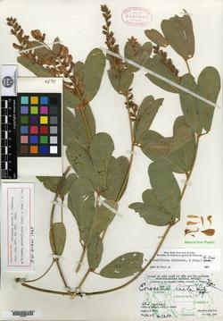 Image of Eriosema laetum