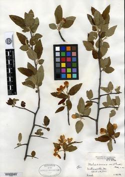 Malus ioensis var. bushii image