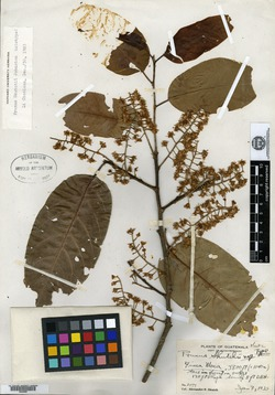 Image of Prunus skutchii