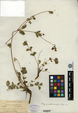 Image of Drymocallis cuneifolia