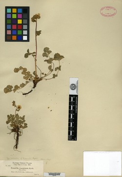 Image of Drymocallis pumila