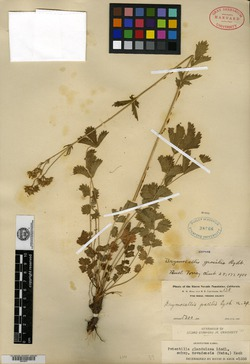 Image of Drymocallis gracilis
