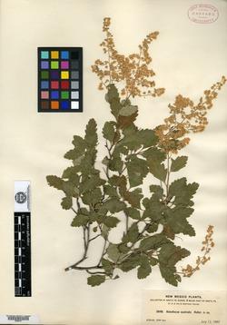 Image of Holodiscus australis