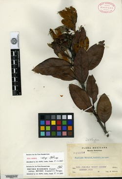 Image of Photinia matudae