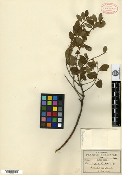 Image of Prunus microphylla