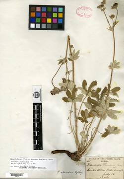 Image of Potentilla atrorubens