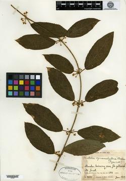 Image of Pseudolachnostoma cynanchiflorum