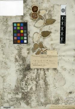 Image of Gomphocarpus purpurascens