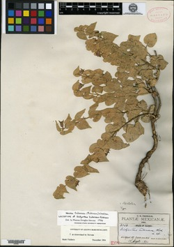 Image of Dictyanthus tuberosus