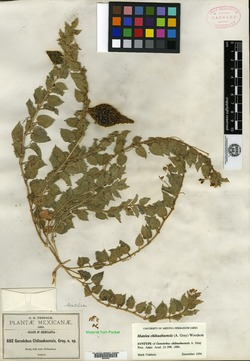 Image of Gonolobus chihuahuensis