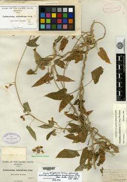 Gonolobus arizonicus image