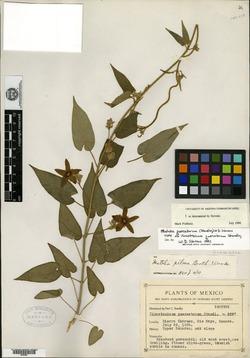 Matelea quercetorum image
