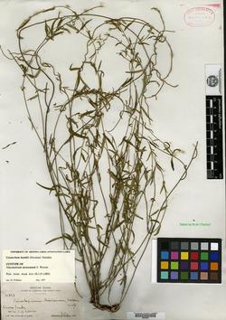 Image of Vincetoxicum mexicanum