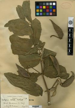 Image of Asclepias kotolo