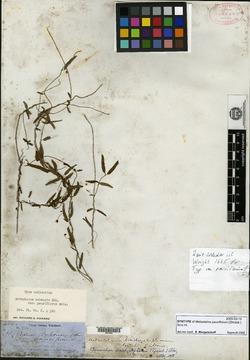 Image of Metastelma pauciflorum