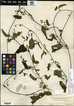 Image of Cynanchum guatemalense
