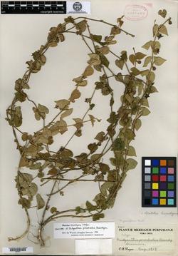 Image of Dictyanthus prostratus