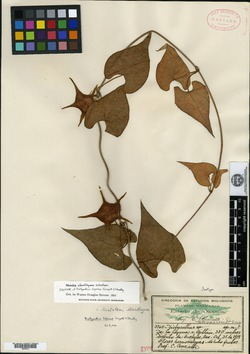 Image of Dictyanthus tigrinus
