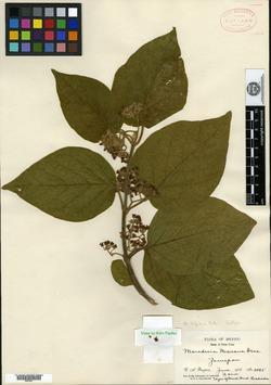 Image of Marsdenia gilgiana