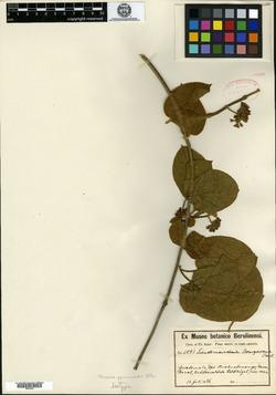 Marsdenia gymnemoides image