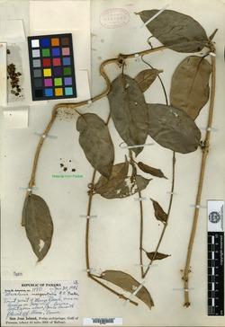Image of Marsdenia undulata