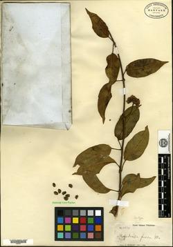 Image of Marsdenia fusca