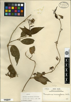 Marsdenia macroglossa image