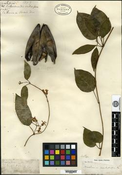 Image of Marsdenia umbellata