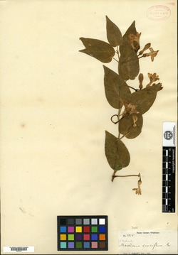 Image of Marsdenia vinciflora