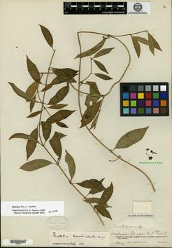 Image of Matelea tenuis