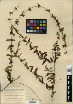 Image of Metastelma decipiens