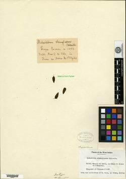 Image of Metastelma stenoglossum