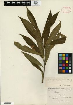 Image of Marsdenia fruticosa
