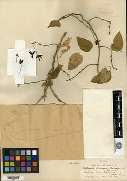 Image of Rothrockia fruticosa