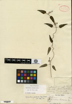 Image of Tylodontia cubensis